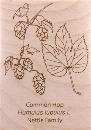 Common Hop